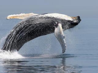 humback whale jump