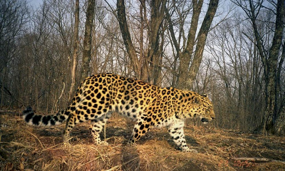 Africa S Most Endangered Big Cat