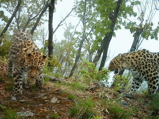 Amur-Leopard-Photo_2_(1).jpg