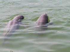 Swimming_porpoises_wwf_llikui