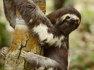pale throated sloth