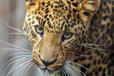 Amur leopard 87883936