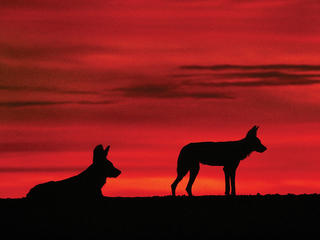 Wild dog silhouettes in the sunset