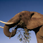 african elephant hero and cricle image