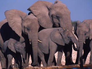 african elephant why they matter