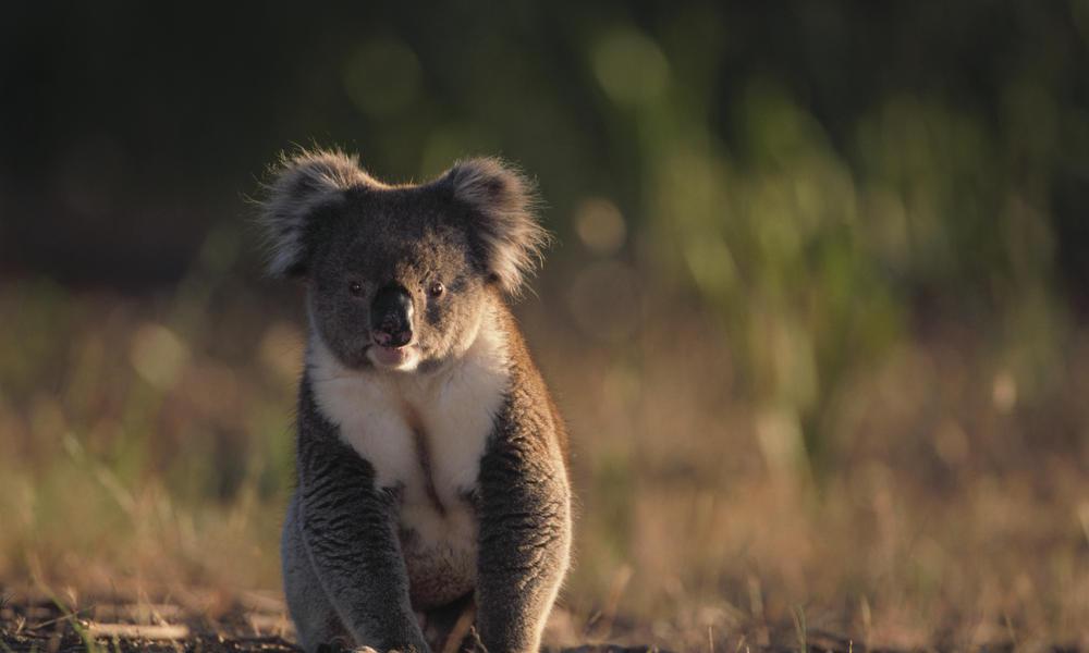 Eastern australia front koala