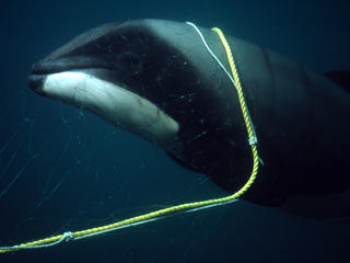 Hector's Dolphin Calf Killed in Gillnet