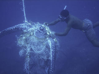 Bycatch Leatherback Turtle