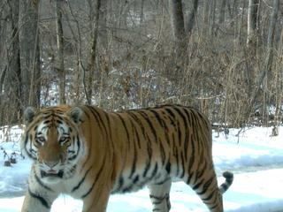amur tiger camera trap