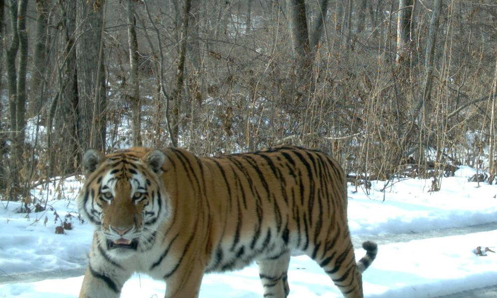 Amur Tigers On The Rise Stories WWF