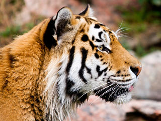 Amur tiger circle image