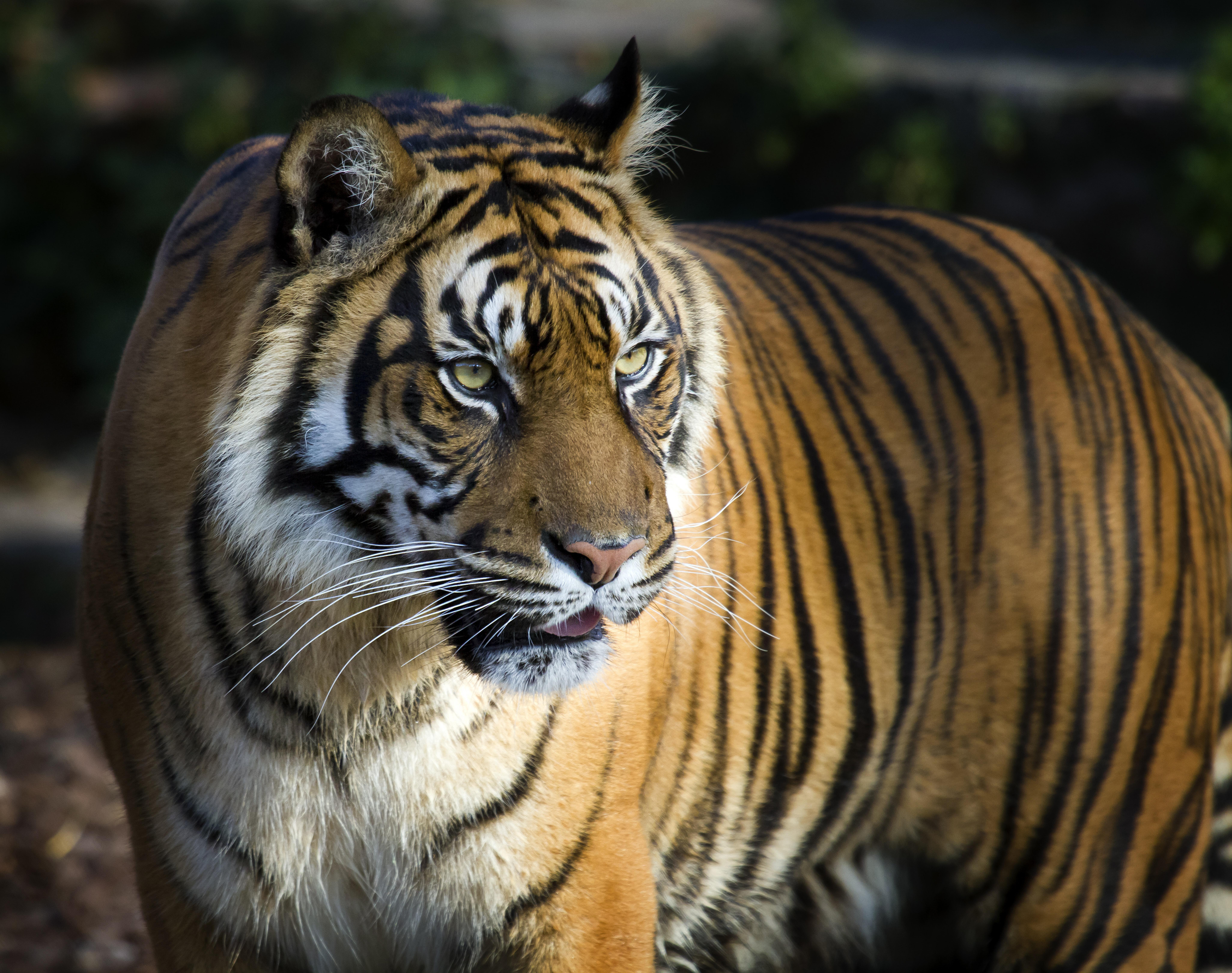 Tiger  Species  WWF Tiger
