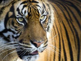 Sumatran Tiger