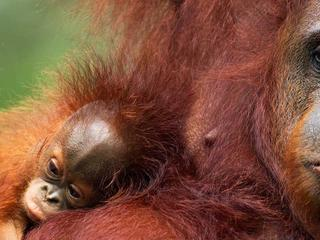 Bornean Orangutans