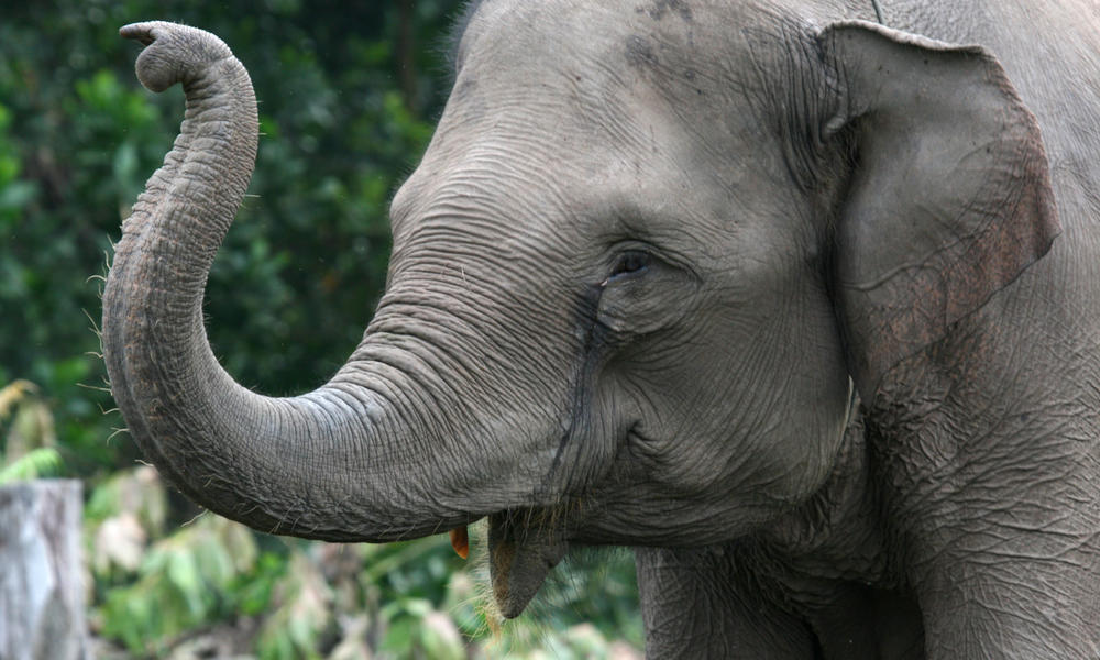 Characteristics - Sumatran Elephants At Risk |Sumatran Elephant Endangered