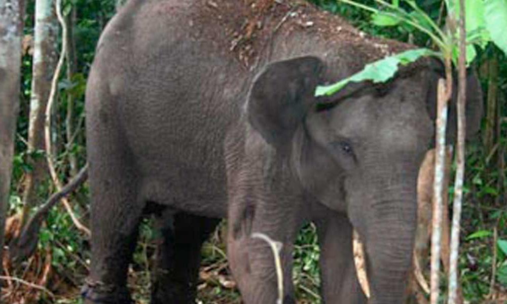 Sumatran Elephant