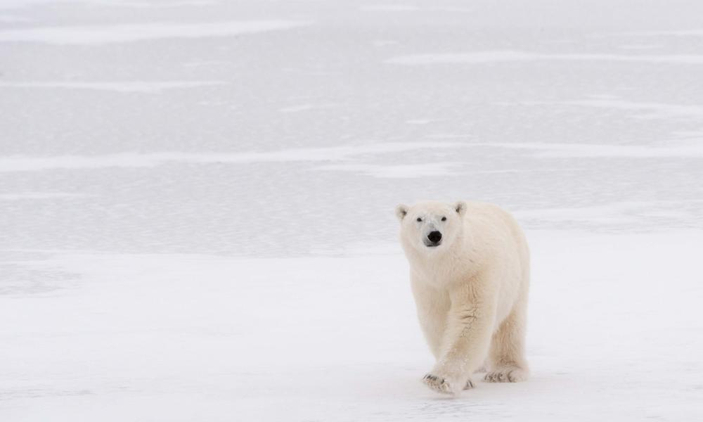 Us Moves To Reduce Climate Change Threat To Polar Bears Stories Wwf