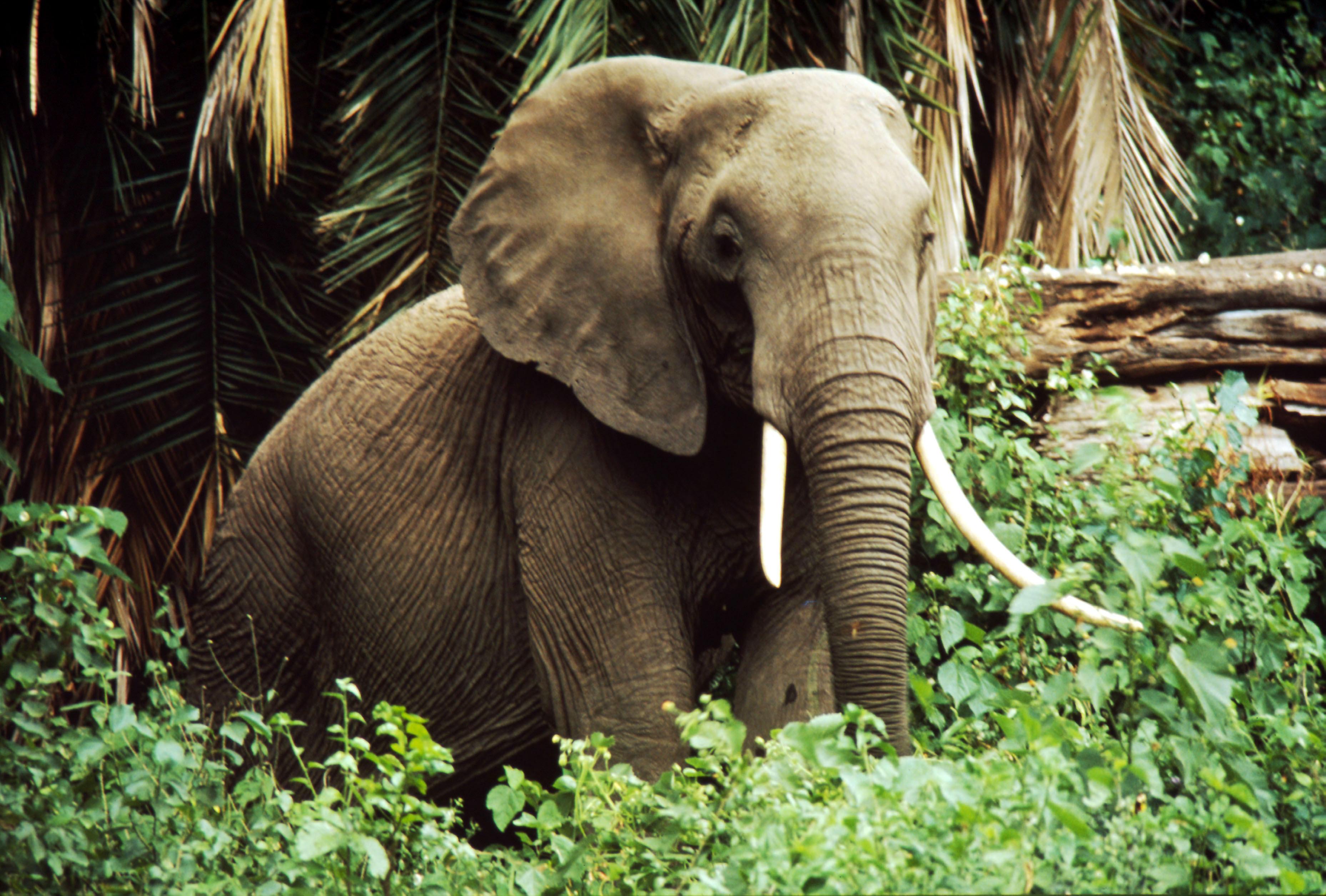 African Forest Elephant Habitat | www.pixshark.com ...