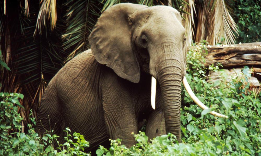 Savanna Elephant Species Wwf