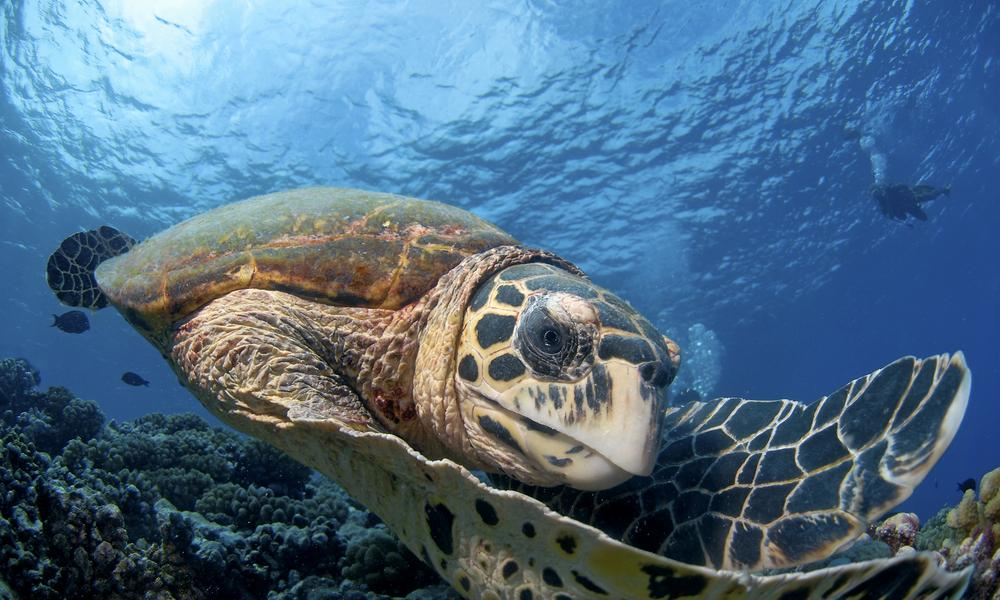 Sea Turtles And Climate Change Magazine Articles Wwf