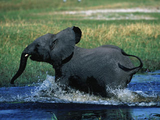 African savanna elephant running