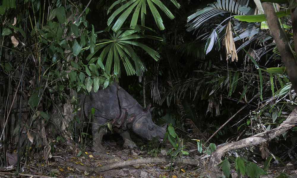 Javan rhinoceros habitat