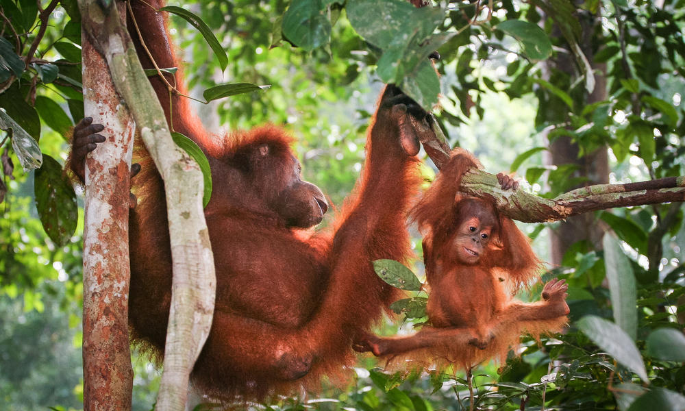 Orangutan mother climb with youngster