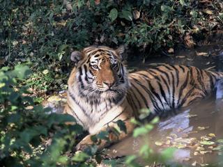 Amur tiger sitting in water