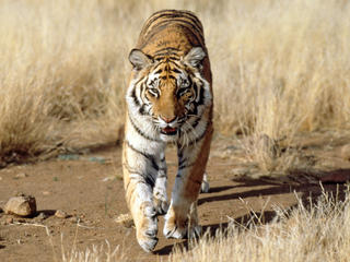 tiger walking through tall grass