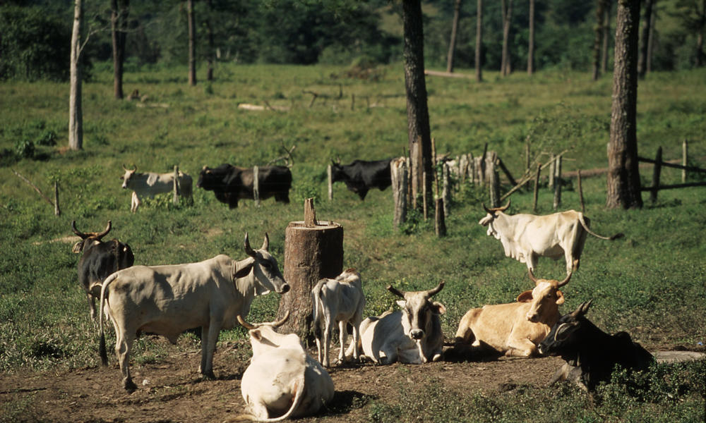 deforestation for cattle ranching in the amazon photos wwf
