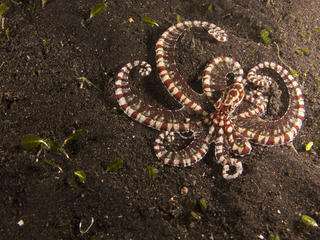 mimic octopus on the ocean floor