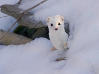 stoat in the snow