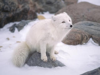 An arctic fox sits on a rock