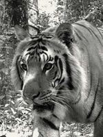 Tigers of the Transboundary Terai Arc Landscape Brochure